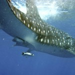 International Whale Shark Day – Cancun