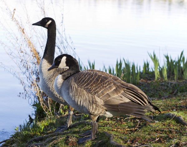 Canadian Geese Mates