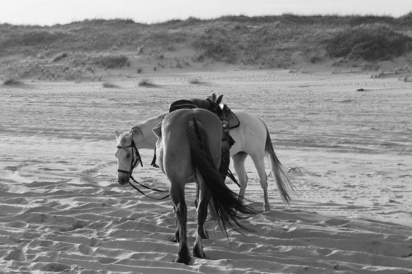horses in black & white