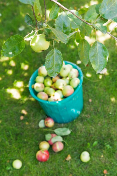 harvesting in orchard and bucket with apples and in summer day