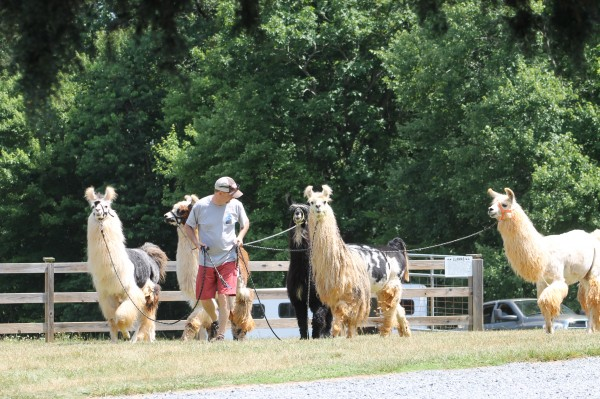 Llamas being brought to meet us