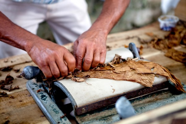 Man processing the tobacco leaves and making cigars