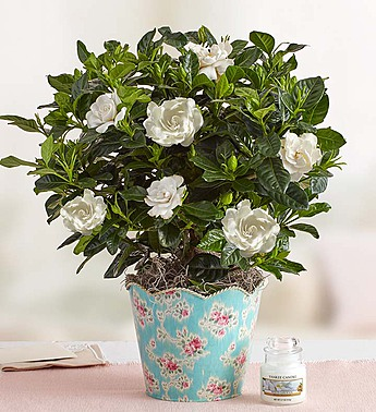 graceful gardenia
